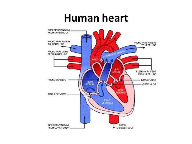 Powerpoint circulatory system