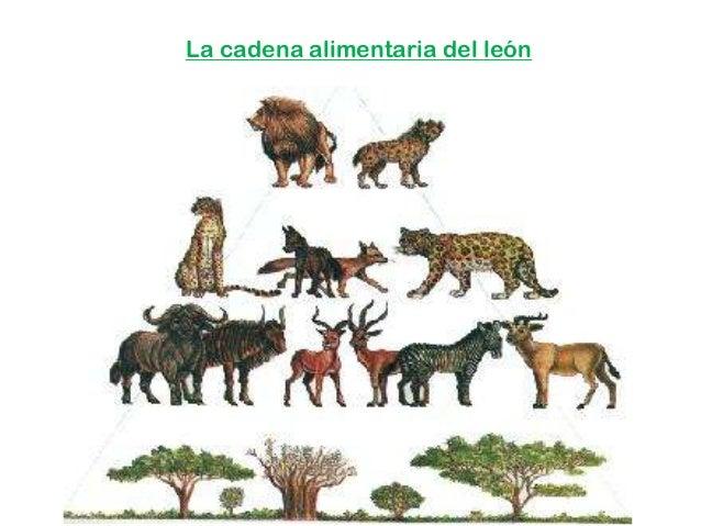 La cadena alimentaria del león