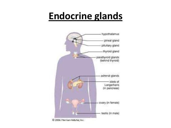 Powerpoint endocrine system endocrineglandsbr toneelgroepblik Gallery