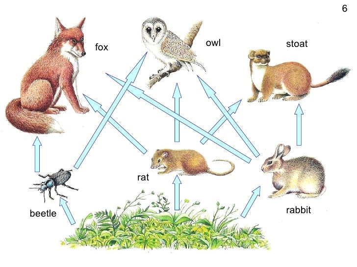 Powerpoint food webs, carbon cycle
