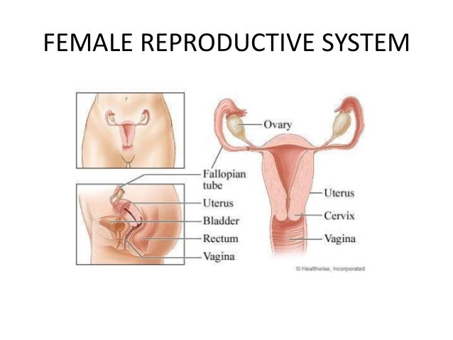 Female reproductive organs ppt.