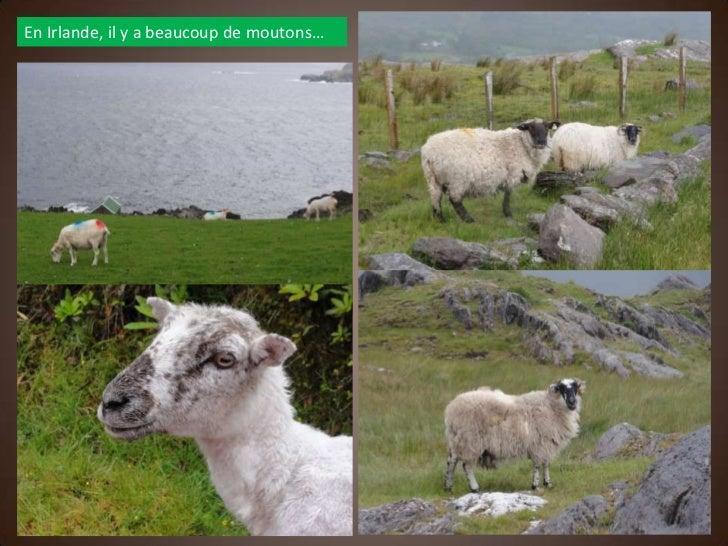 En Irlande, il y a beaucoup de moutons…