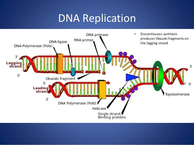 dna replication mitosis meiosis and the cell cycle : dna replication diagram - findchart.co