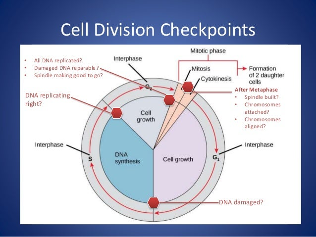 DNA Replication, Mitosis, meiosis, and the Cell Cycle