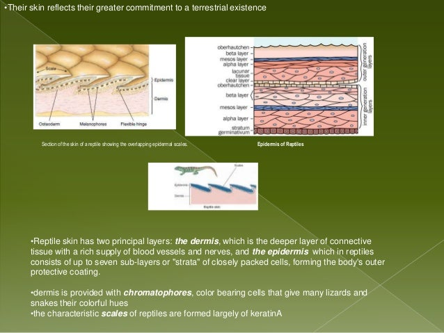 powerpoint of integumentary system of vertebrates 31 638?cb=1362025603 powerpoint of integumentary system of vertebrates
