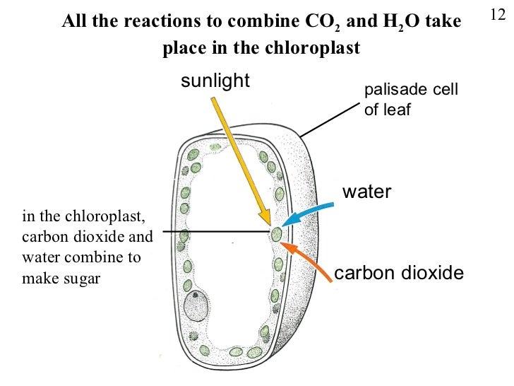 Which Part Is Used By Plant Cells To Make Food