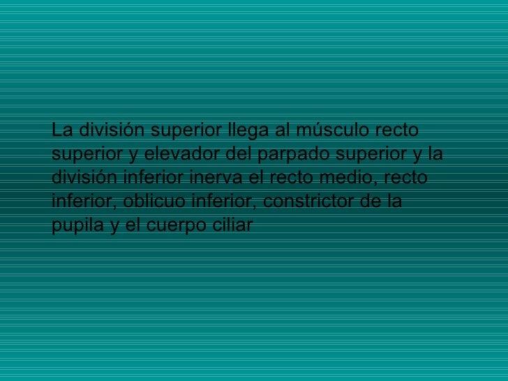 La división superior llega al músculo recto superior y elevador del parpado superior y la división inferior inerva el rect...