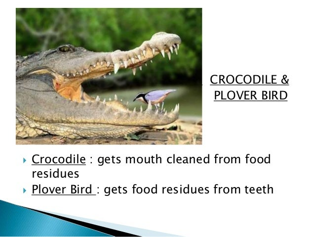 crocodile bird and relationship quotes