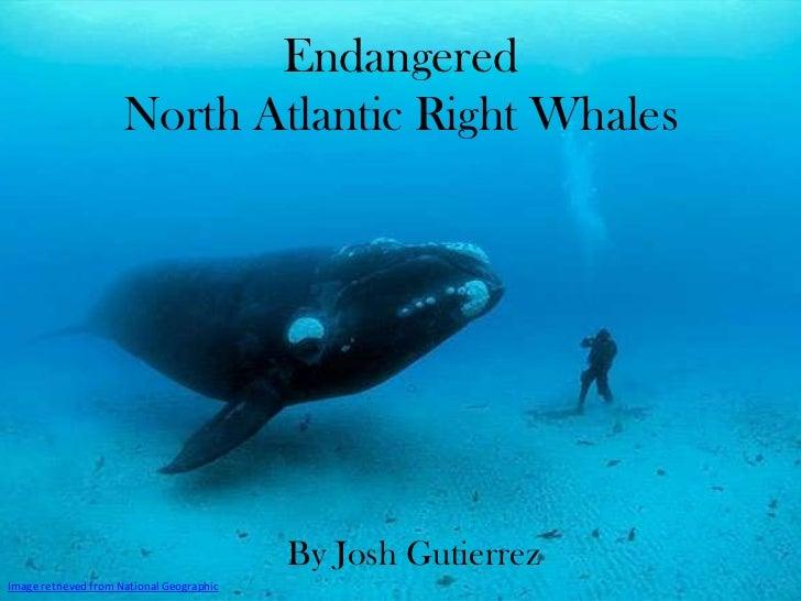 Endangered                     North Atlantic Right Whales                                           By Josh GutierrezImag...