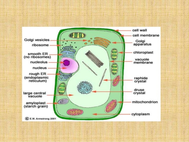 Venn Diagram Of Plant And Animal Cells And Bacteria Akbaeenw