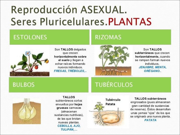 Reproduccion asexual en plantas rizomas comestibles