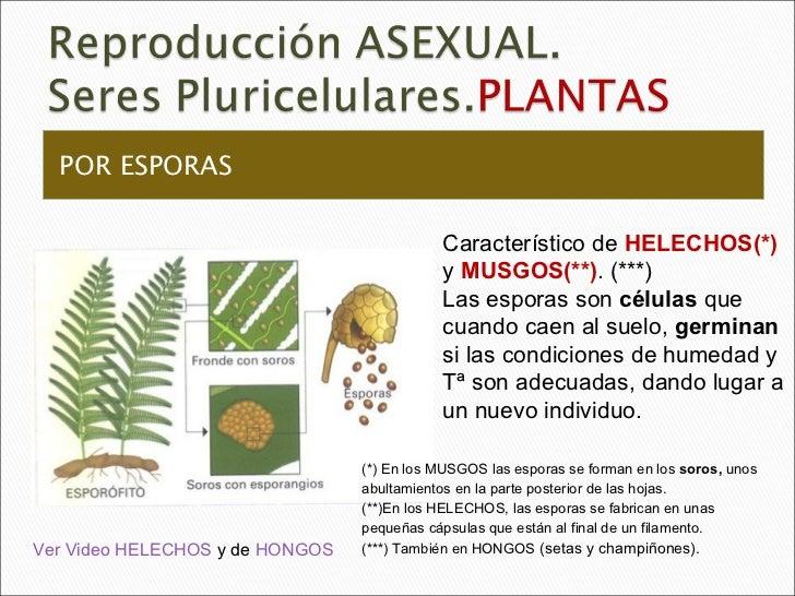 Reproduccion asexual en plantas por esporas del