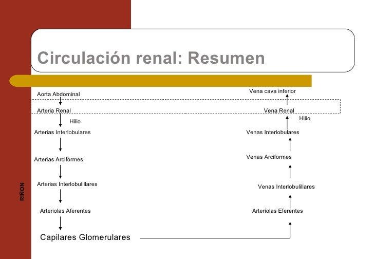 Circulación renal: Resumen Aorta Abdominal  Arteria Renal Arterias Interlobulares Arterias Arciformes Capilares Glomerular...