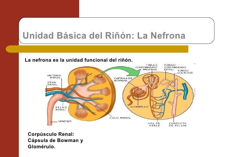 Unidad Básica del Riñón: La Nefrona La nefrona es la unidad funcional del riñón. Corpúsculo Renal:  Cápsula de Bowman y Gl...