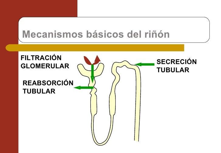 Mecanismos básicos del riñón FILTRACIÓN GLOMERULAR REABSORCIÓN TUBULAR SECRECIÓN TUBULAR