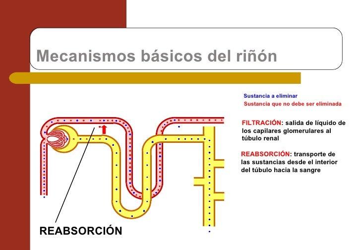 Mecanismos básicos del riñón  FILTRACIÓN : salida de líquido de los capilares glomerulares al túbulo renal Sustancia a eli...