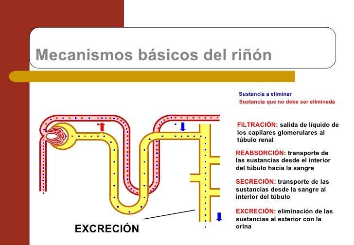 Mecanismos básicos del riñón Sustancia a eliminar Sustancia que no debe ser eliminada FILTRACIÓN : salida de líquido de lo...