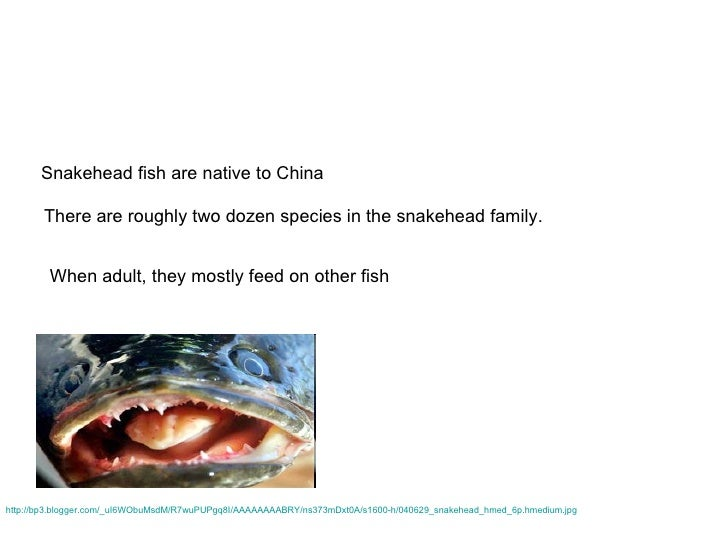 Snakeheads for Feed and grow fish free no download