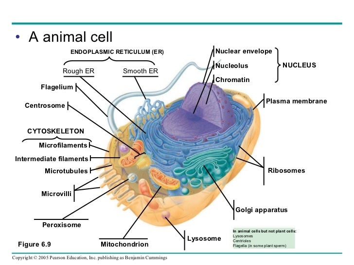 animal cell diagram labeled flagella - DriverLayer Search ...