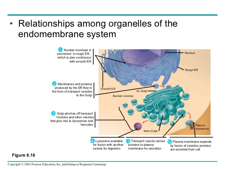 Which is not a function of the endomembrane system of the