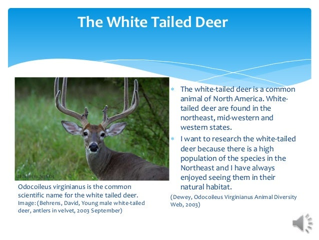 The White Tailed Deer  The white-tailed deer is a common animal of North America. White- tailed deer are found in the nor...