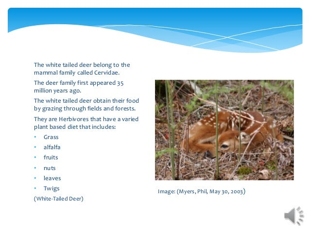The white tailed deer belong to the mammal family called Cervidae. The deer family first appeared 35 million years ago. Th...