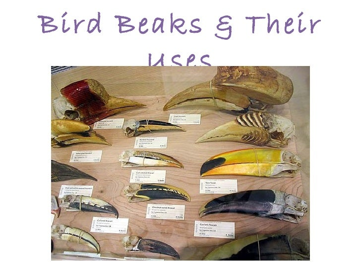 Bird Beaks & Their       Uses