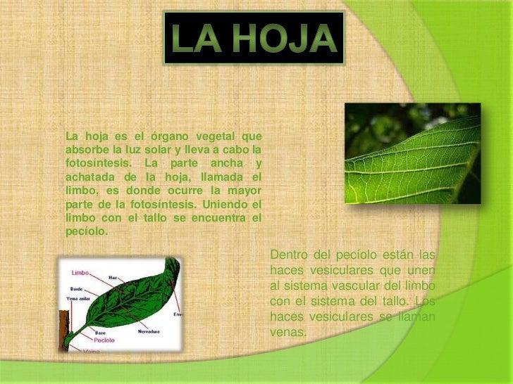 LA HOJA<br />La hoja es el órgano vegetal que absorbe la luz solar y lleva a cabo la fotosíntesis. La parte ancha y achata...