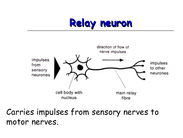 ppt rh slideshare net relay neuron structure and function relay neuron diagram gcse