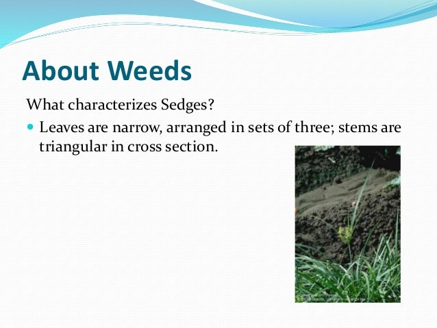 About Weeds What characterizes Sedges?  Leaves are narrow, arranged in sets of three; stems are triangular in cross secti...