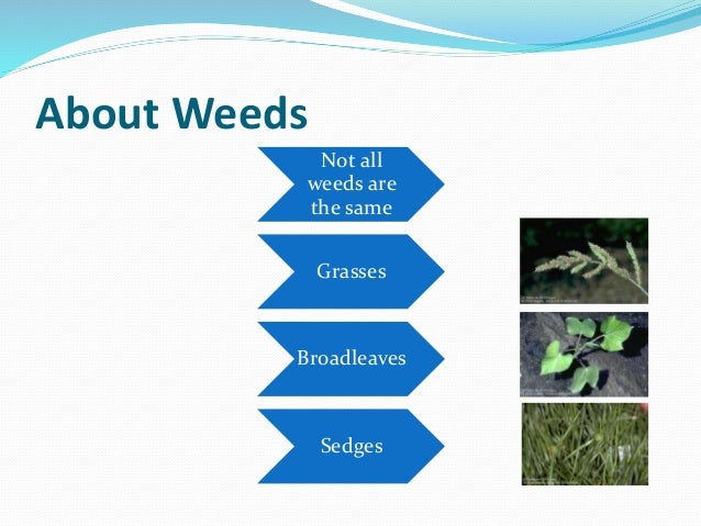 About Weeds Not all weeds are the same Grasses Broadleaves Sedges