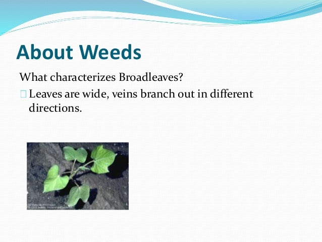 About Weeds What characterizes Broadleaves? Leaves are wide, veins branch out in different directions.