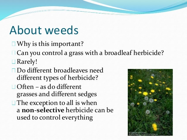 About weeds Why is this important? Can you control a grass with a broadleaf herbicide? Rarely! Do different broadleaves ne...