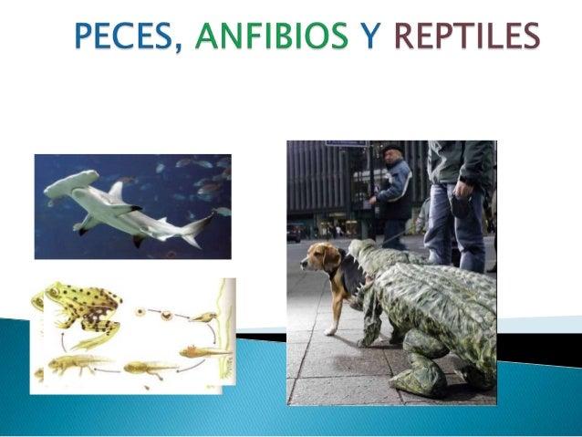 Ppt peces anfibios y reptiles for La reproduccion de los peces
