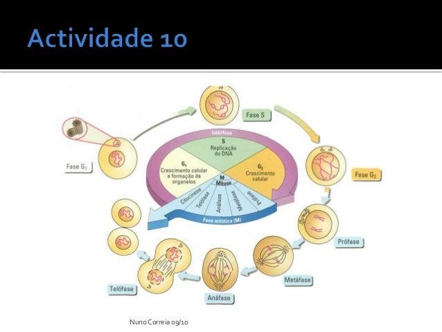 Ppt 10 ciclo celular nuno correia 0910 17 ccuart Image collections