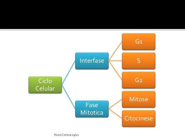 Ppt 10 ciclo celular nuno correia 0910 ccuart Image collections