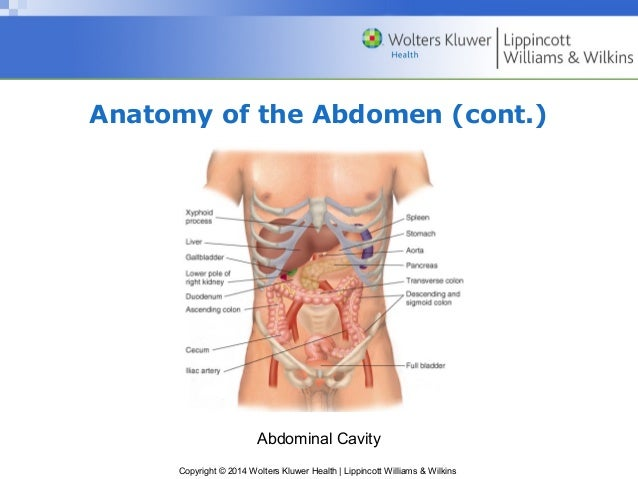 Ppt11 anatomy of the abdomen ccuart Image collections