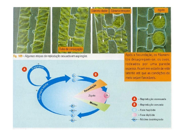 Ppt 18 ciclos de vida meiose 9 ccuart Image collections
