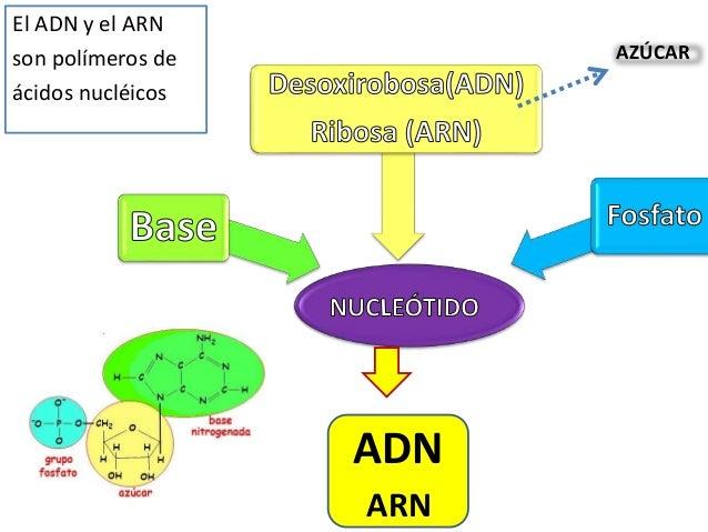 Estructura àcidos Nucleicos Adn Y Arn
