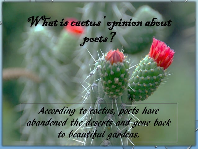What did camels and merchants do to the cactus?  They trampled cactus flowers to dust.