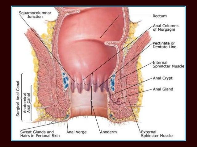 The anatomy of the anus