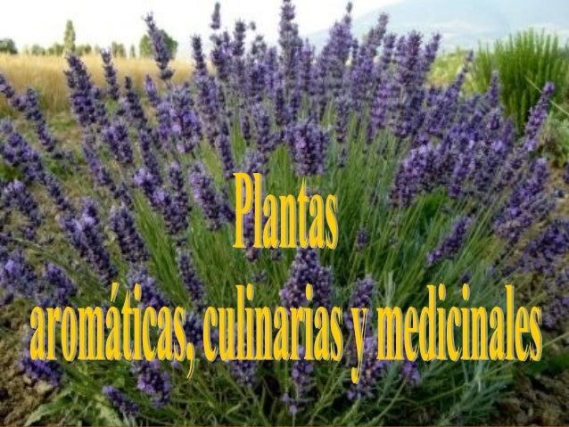 Plantas arom ticas culinarias y medicinales - Plantas aromaticas mediterraneas ...