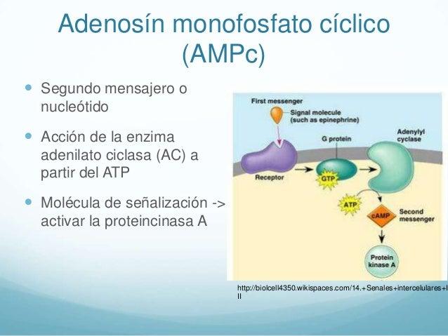 gluconeogenesis via anabolica