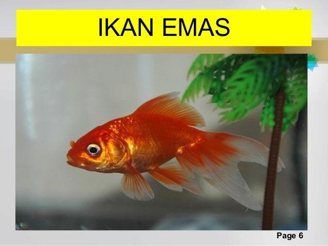 Ikan Koi Emas