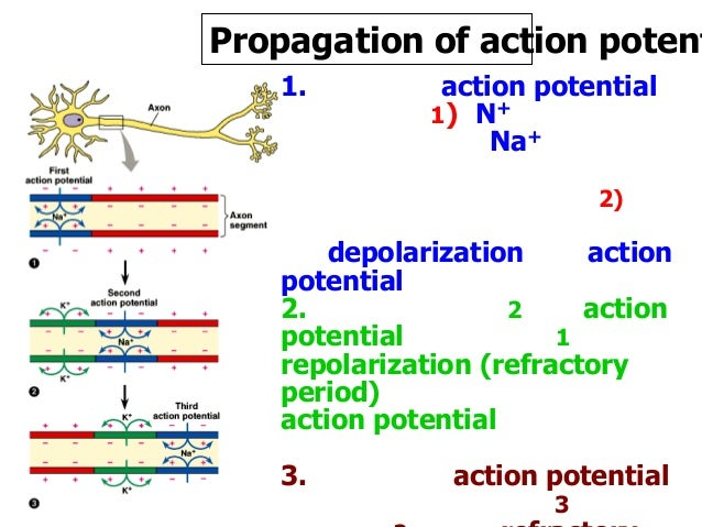describe the conduction of action potentials and activation of neurotransmitters Synaptic terminals- release neurotransmitters to stimulate the slower the conduction since action potentials must be produced describe the action and.