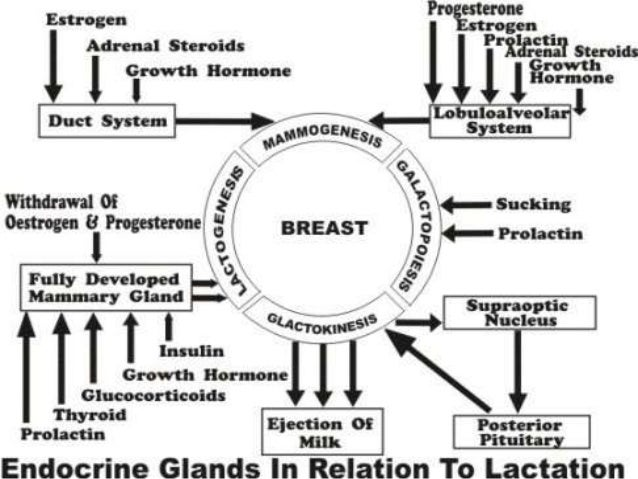 Ppt of physiology of lactation