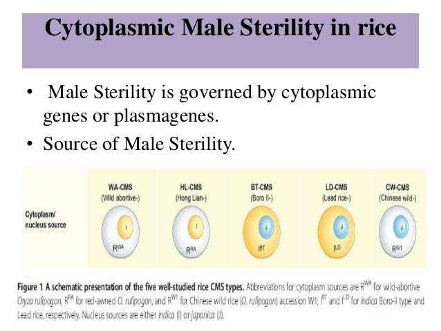 importance of male sterility and self Two important characteristics of the dominant male-sterile that differ from the  recessive male-sterile are: i) a generation of self- ing is not required to obtain.