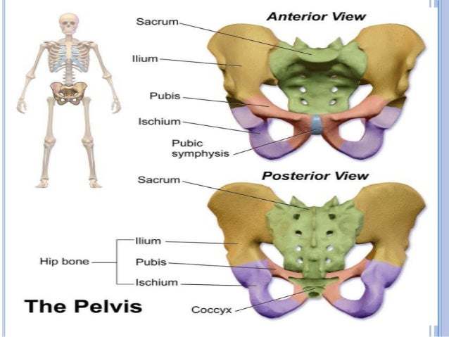 ppt on pelvis, Human body
