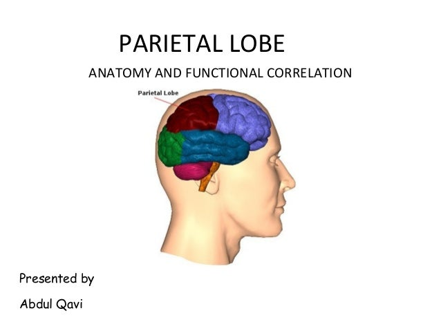 PARIETAL LOBE Presented by Abdul Qavi ANATOMY AND FUNCTIONAL CORRELATION