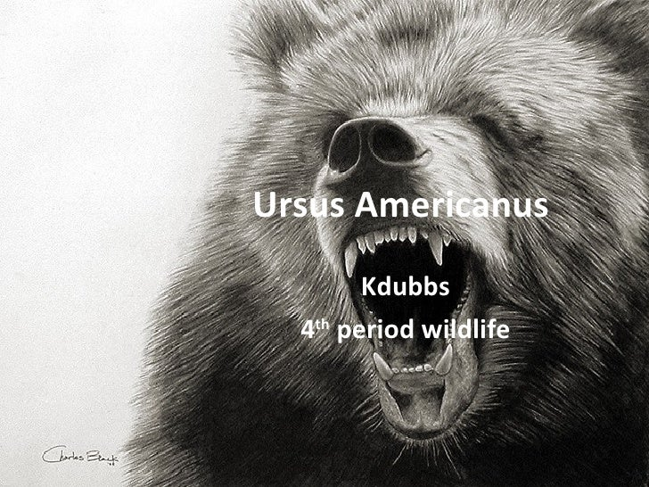 Ursus Americanus Kdubbs 4 th  period wildlife